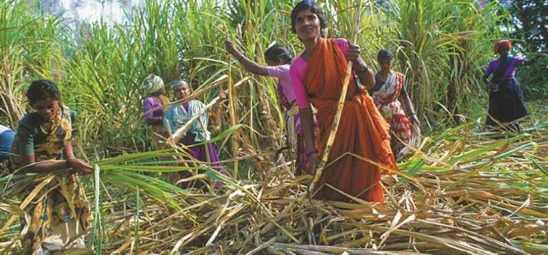 Spring Sugarcane Sowing