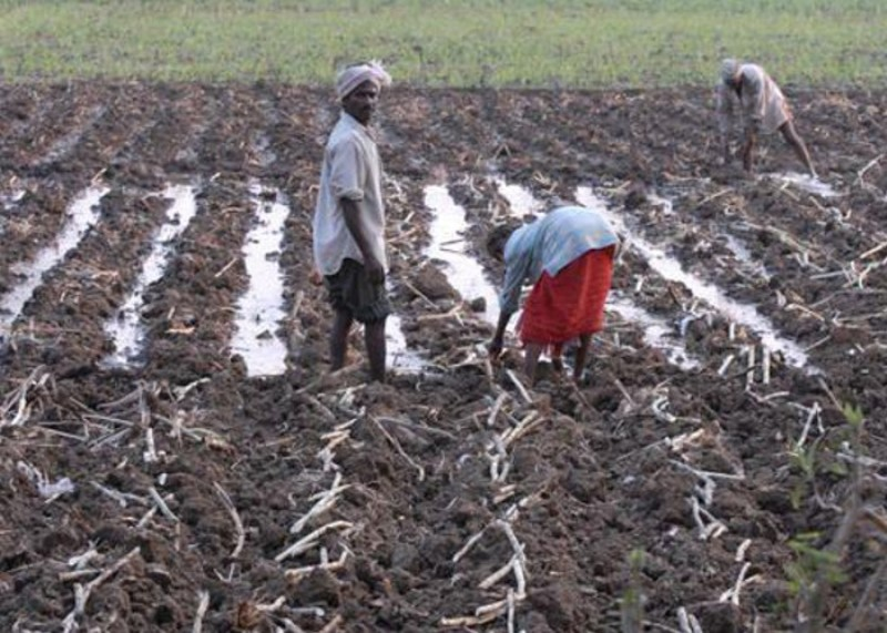 Sugarcane sowing in February