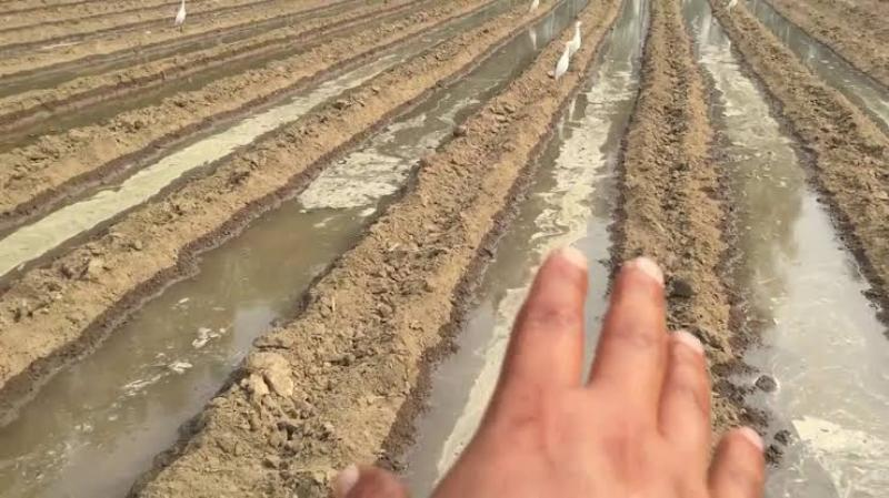 Sugarcane sowing by trench method