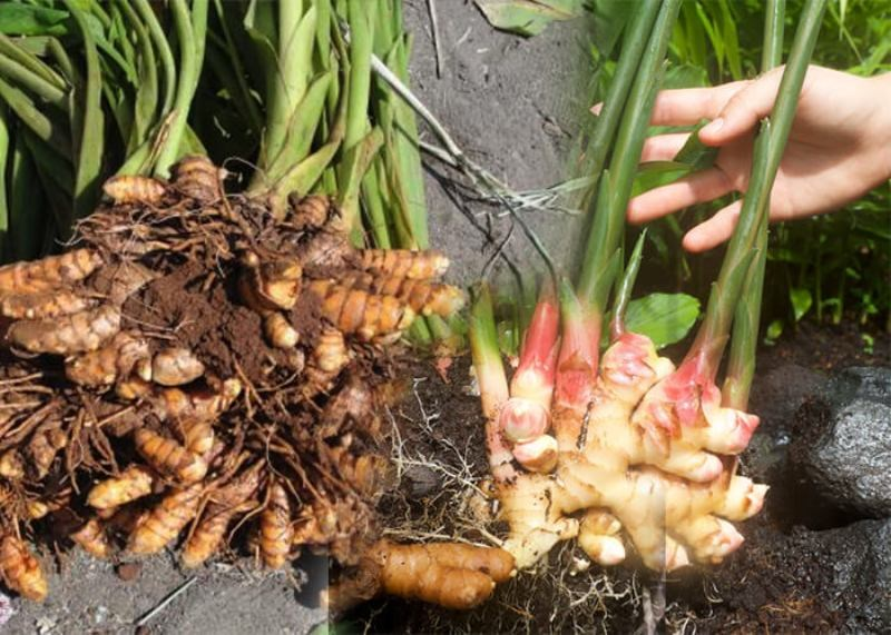 Disease and Pest prevention in ginger