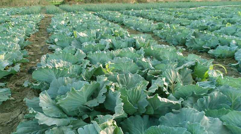 prisoners cultivated cabbage in the prison