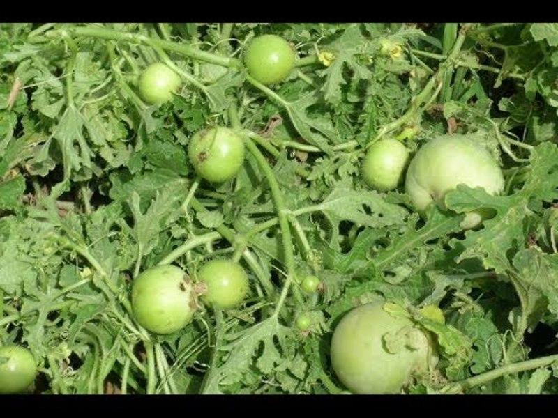 Tinda farming