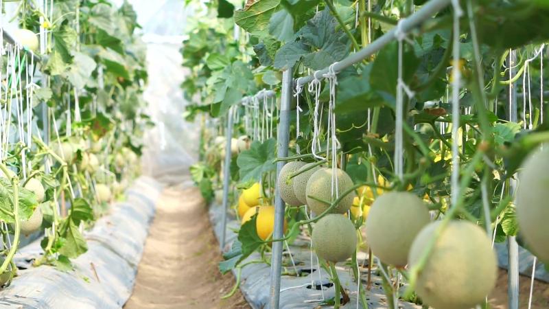Melon farming