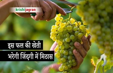 Grapes Farming: इस फल की मिठास करवाएगी दोगुनी कमाई