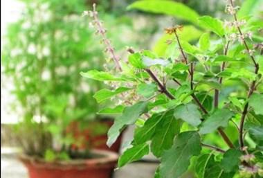 घर ही में है बीमारियों का इलाज, जानिए औषधीय पौधों के बारे में