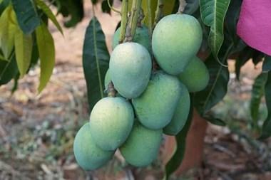 अच्छी खबरः तमिलनाडु में सफल हुई अलफांसो आम की खेती, हो रही है बंपर पैदावार