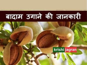बादाम का पेड़: किचन गार्डन में Almond Tree उगाने की जानकारी