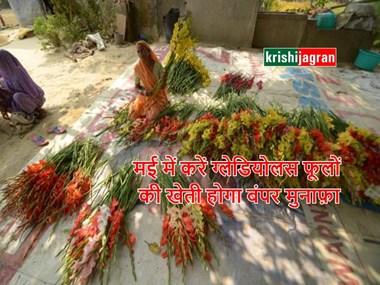 मई माह में करें ग्लेडियोलस की खेती, देश-विदेश तक है इन फूलों की मांग