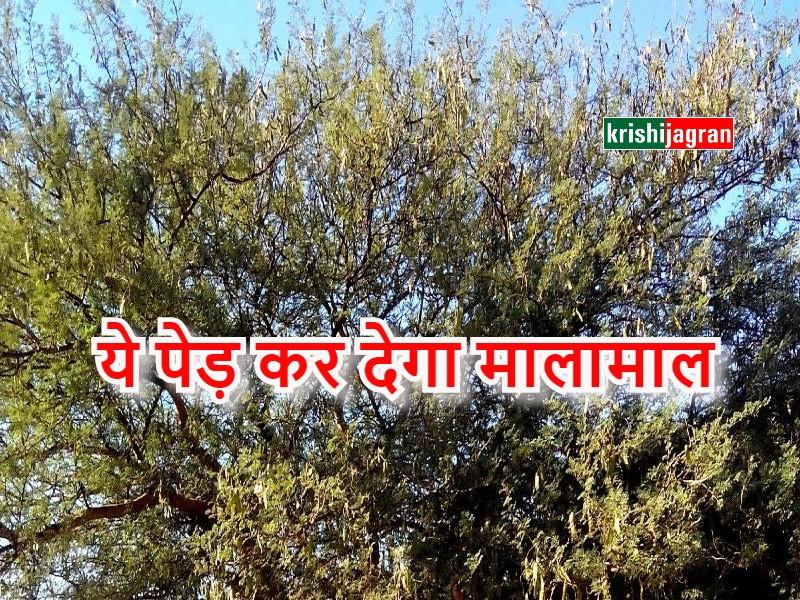 डबल मुनाफ़ा कमाने के लिए खेतों की मेड़ पर लगाएं कुमट का पेड़