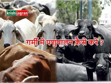 गर्मी के मौसम में गाय और भैंस की ऐसे करें देखभाल, नहीं पड़ेगा दूध उत्पादन पर कोई प्रभाव