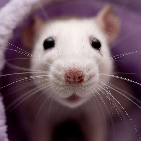 अब और नहीं होगा नुकसान - आई.पी.एम. आधारित चूहा नियंत्रण
