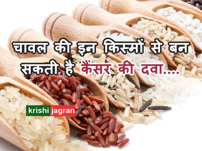 चावल की इन तीन किस्मों से बन सकती है कैंसर की दवा, प्रथम चरण में मिली सफलता