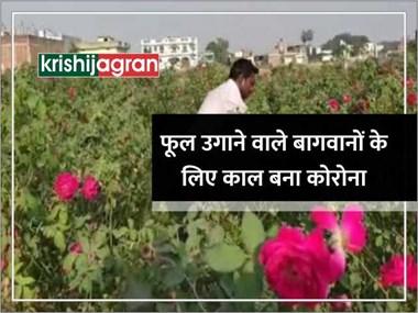 फूलों की बागवानी करने वाले किसानों के लिए काल बना कोरोना, खेतों में पौधों पर ही मुरझा रहे फूल