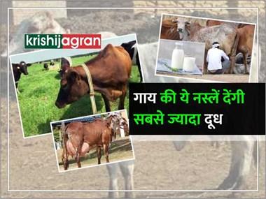 पशुपालन: भारतीय नस्ल की इन 4 गायों से मिलेगा 80 लीटर तक दूध, 4 लोगों को मिलकर पड़ेगा दुहना