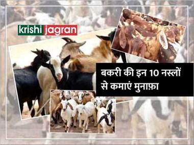 पशुपालन: भारतीय नस्ल की इन 10 बकरियों को पालकर कमाएं मुनाफ़ा
