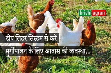 डीप लिटर सिस्टम से करें मुर्गीपालन के लिए आवास की व्यवस्था, कम लागत में होगा अधिक मुनाफा
