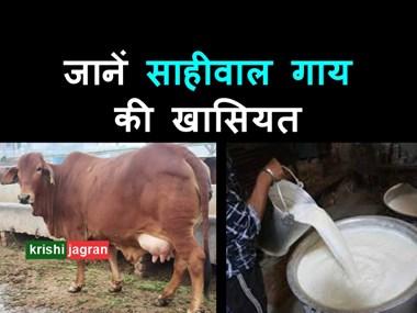 साहीवाल गाय की कीमत है सिर्फ 70 से 75 हजार रुपए, पशुपालक ज़रूर पढ़ें इसकी खासियत