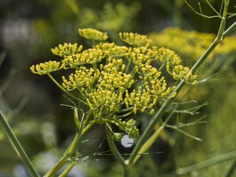 asafoetida cultivation