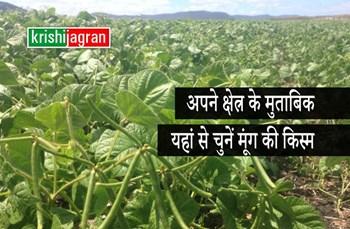 Moong Varieties: अपने क्षेत्र के मुताबिक उचित किस्म से करें मूंग की बुवाई, कम समय में पाएं बंपर उत्पादन