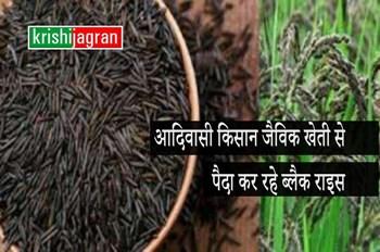 इस राज्य के आदिवासी किसान जैविक खेती से पैदा कर रहे ब्लैक राइस, ऐसे है औषधीय गुण