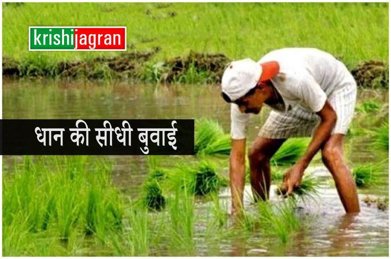 धान की  सीधी बुवाई से मिलेगी फसल का बेहतर उत्पादन, ऐसे करें पानी और श्रम की बचत