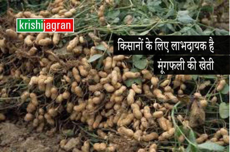 किसानों के लिए लाभदायक है मूंगफली की खेती
