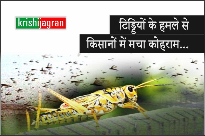 टिड्डियों के हमले से किसानों में मचा कोहराम, इन राज्यों में हुआ सबसे अधिक नुकसान