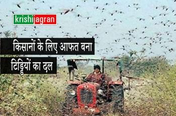 Locust Attack: किसानों के लिए सिरदर्द बना बिन बुलाया मेहमान टिड्डियों का दल, फसलों को कर रहा है तबाह