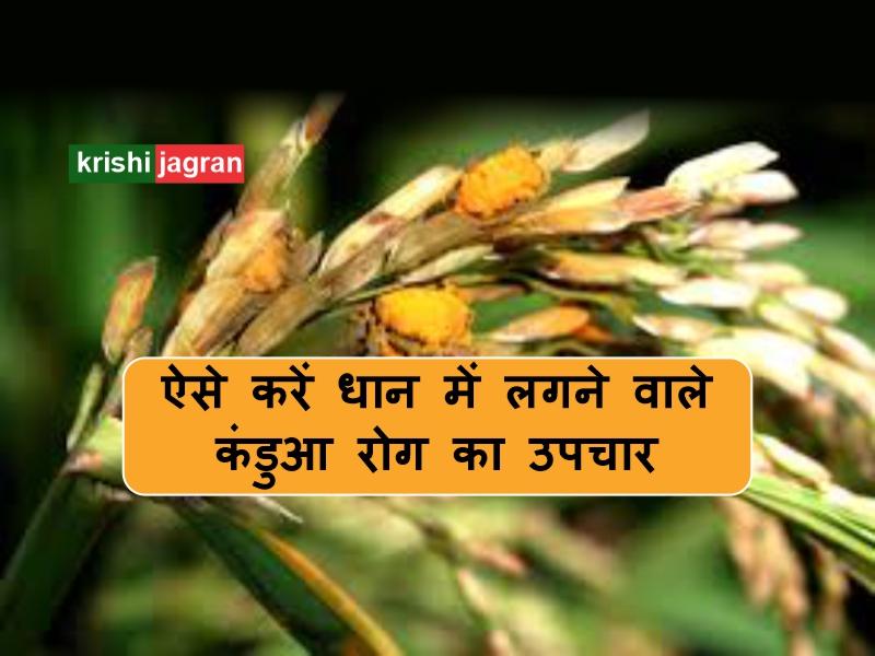 धान की फसल को कंडुआ रोग से बचाने का आसान तरीका, ऐसे करें बीज शोधन
