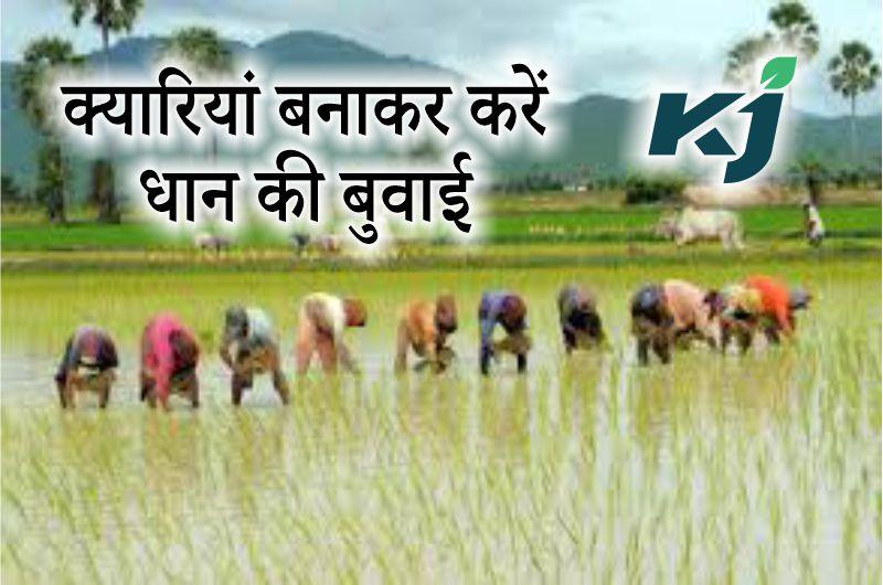 क्यारियां बनाकर करें धान की खेती, 20 प्रतिशत ज्यादा होगी फसल की पैदावार