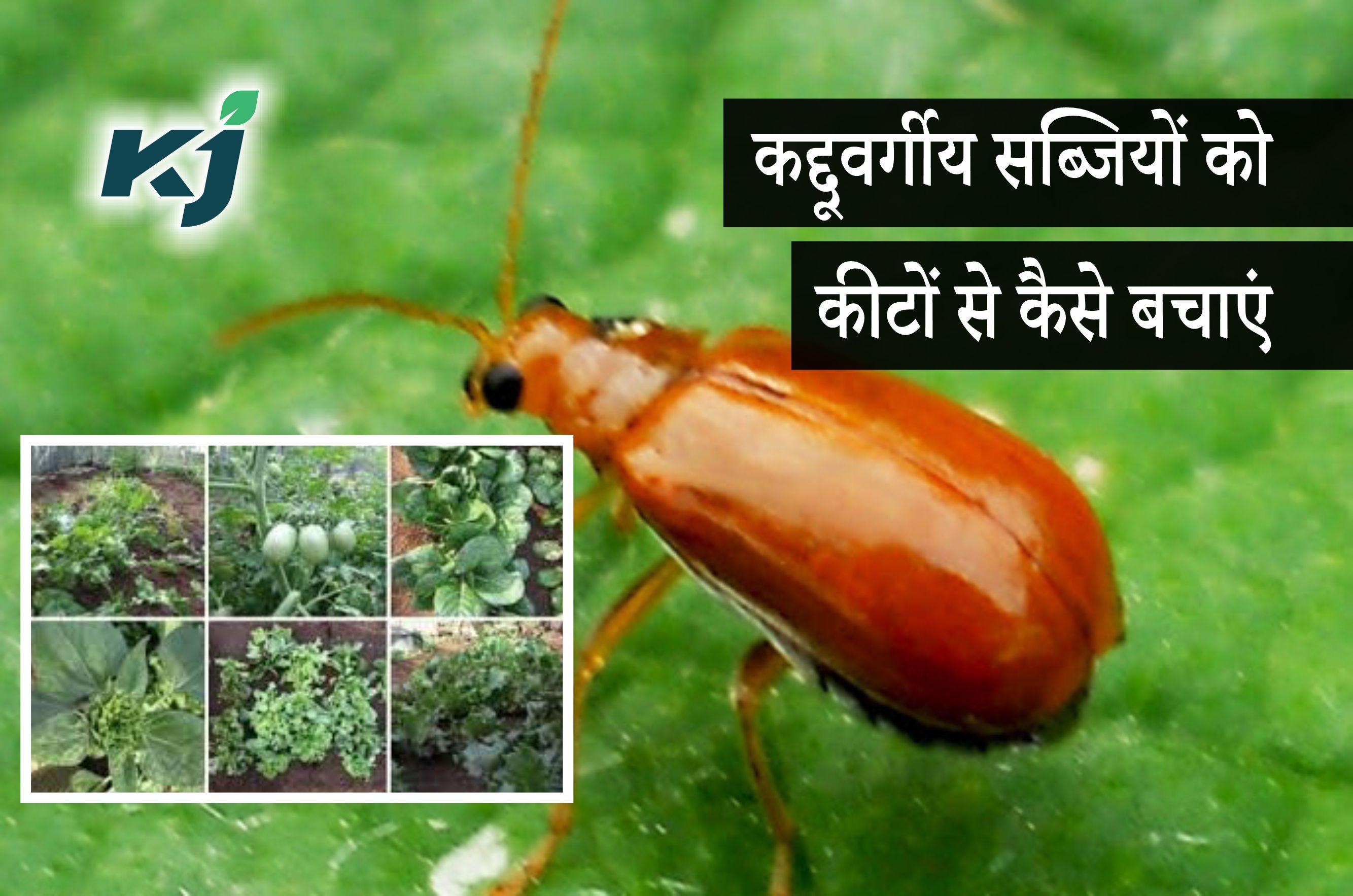 कद्दूवर्गीय सब्जियों पर लगने वाले प्रमुख कीटों की ऐसे करें रोकथाम