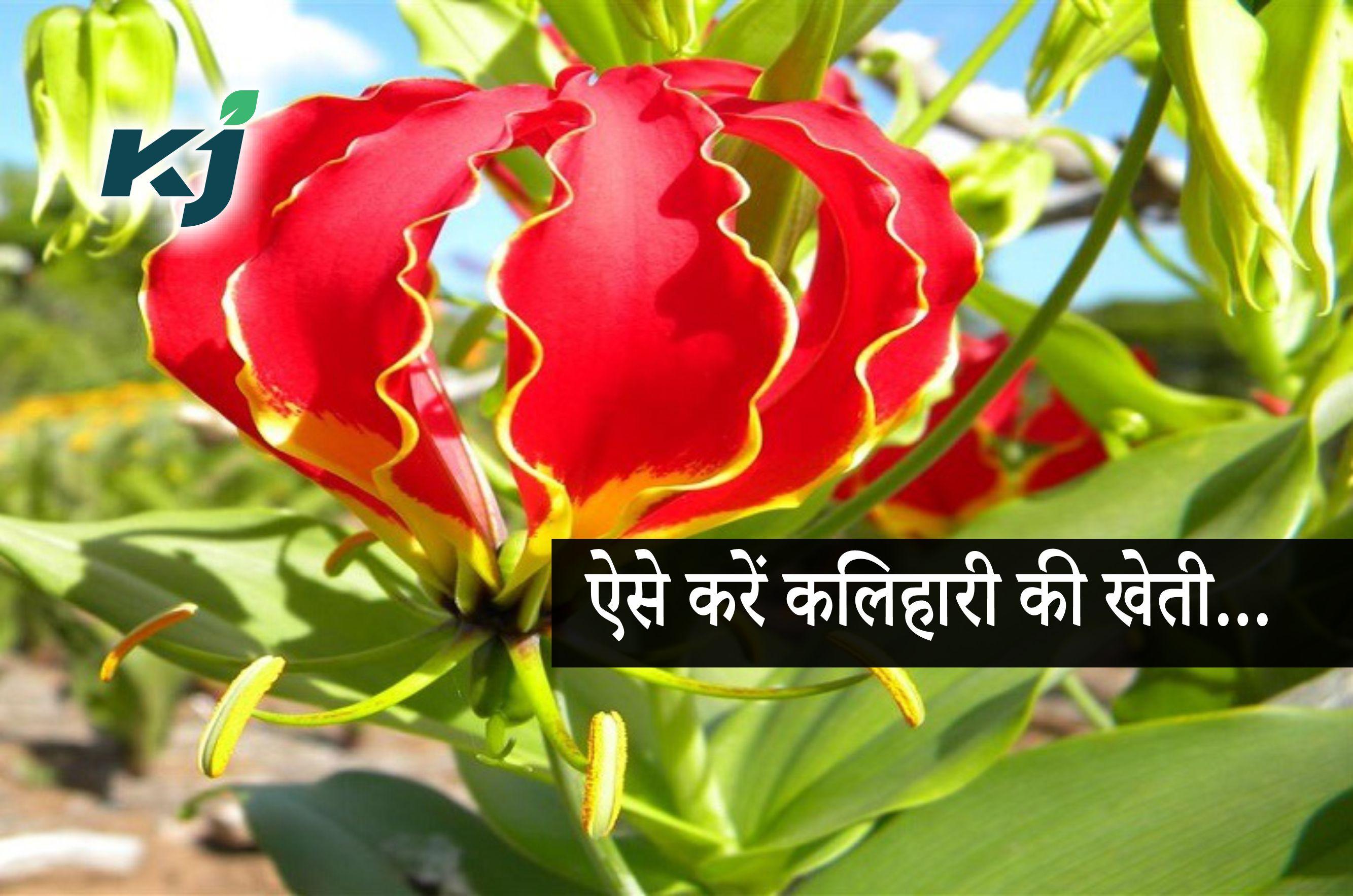 कलिहारी का पौधा है सेहत के लिए फायदेमंद, खेती से होगा मुनाफा