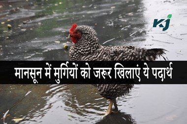 Monsoon 2020 Poultry: मानसून में मुर्गियों का रखें खास ध्यान, पोल्ट्री फार्म संचालक जरूर करें ये काम
