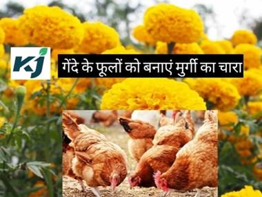 गेंदे के फूलों को बनाएं मुर्गी का चारा, बढ़ेगी अंडों की गुणवत्ता
