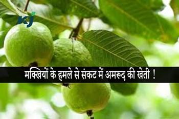 बंगाल में मक्खियों के हमले से संकट में अमरूद की खेती