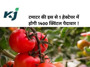 टमाटर की इस नई किस्म से 1 हेक्टेयर में होगी 1400 क्विंटल पैदावार, मलामाल होंगे किसान !
