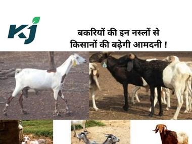 Top Profitable Goat Breeds : बकरी पालन से आमदनी बढ़ाने के लिए करें  इन प्रजातियों का पालन !