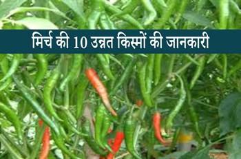 Chili Varieties: मिर्च की इन 10 किस्मों की करें बुवाई, कम दिन में फसल तैयार होकर देगी बंपर उत्पादन