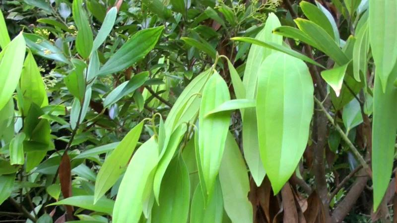 bay leaf and health