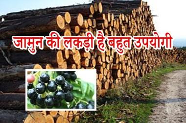 Berries wood: जामुन की लकड़ी का है विशेष महत्व, जानिए इसकी खासियत