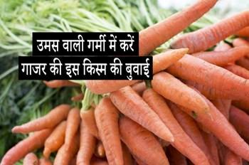 गाजर की ये किस्म देगी गर्मी में भी अच्छा उत्पादन, जुलाई के आखिरी सप्ताह तक करें बुवाई