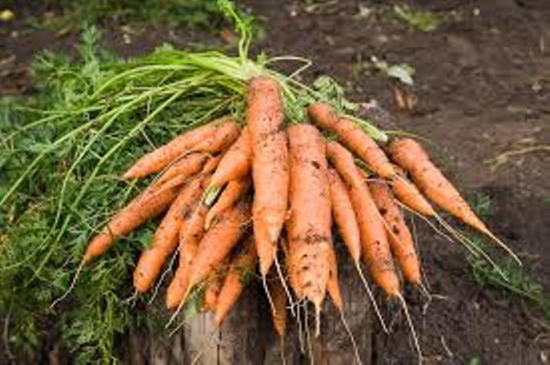 गाजर की बुवाई