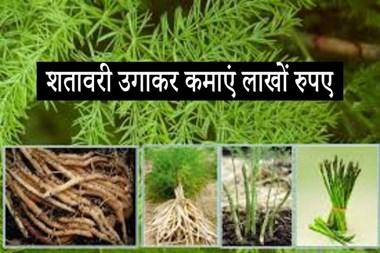 सिर्फ 50 हजार में करें शतावरी की खेती, कमाएं लाखों रुपए मुनाफा