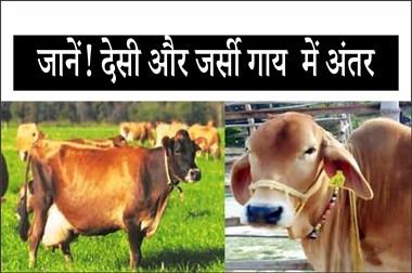 देसी और जर्सी गाय में क्या अंतर है?  पढ़िए पूरी जानकारी