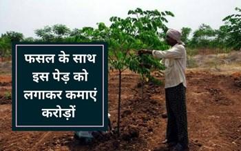 इस पेड़ को फसल के साथ लगाकर कमाएं करोड़ों, जानिए कैसे
