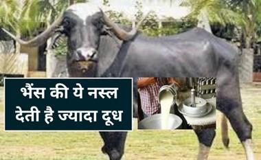 15 लीटर तक दूध देती है भैंस की यह नस्ल, 12 से 13 माह पर होती है गाभिन