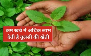Basil cultivation: तुलसी की खेती की सम्पूर्ण जानकारी