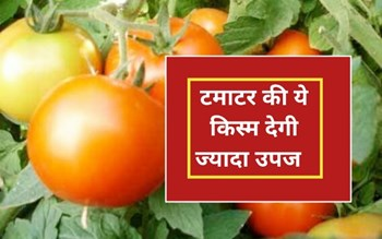एक पौधे में फलेगा 19 किलो टमाटर, 150 दिनों में तैयार होगी फसल