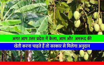 उत्तर प्रदेश के इस जिले में केला, अमरूद और आम की खेती पर किसानों को मिल रहा अनुदान