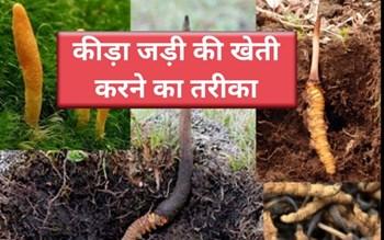 कीड़ा जड़ी की कीमत 20 से 25 लाख रुपए प्रति किलो, जानें इसकी खेती, पहचान, गुण और खाने का तरीका
